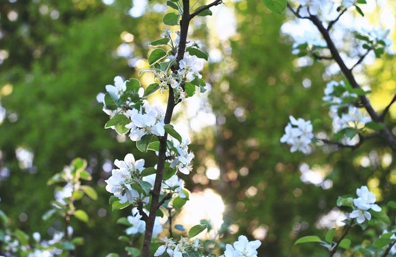omenapuu 7