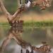 Pied Kingfisher (© Jonathan Lewis)