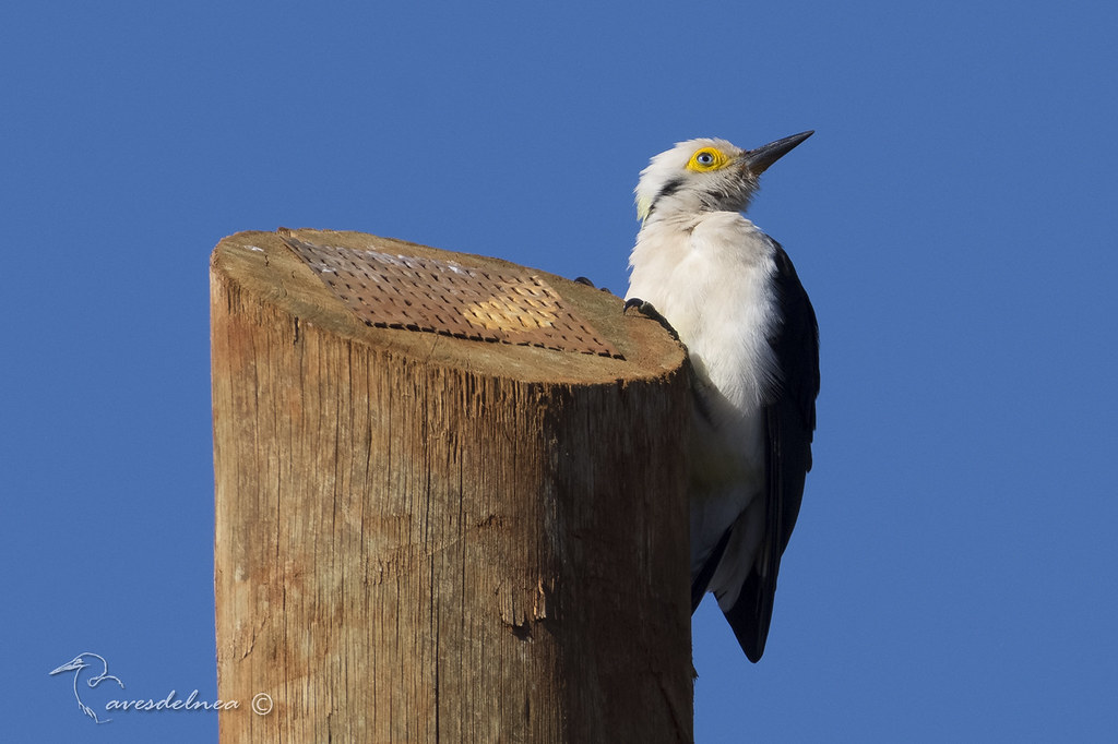 Carpintero blanco (White Woodpecker) Melanerpes candidus