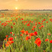 Poppy Sunset