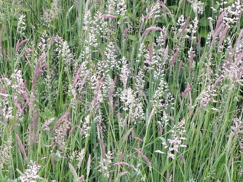 Flowering grasses