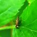 Plant Bug Rhabdomiris striatellus - Miridae by Covnanny