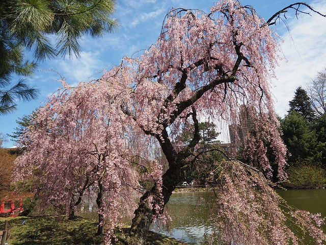 木, 2018-04-26 13:26 - Brooklyn Botanic Garden