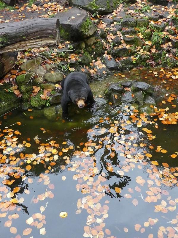 Malaienbär, Allwetterzoo Münster