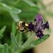 Flower Bee --- Anthophora furcata