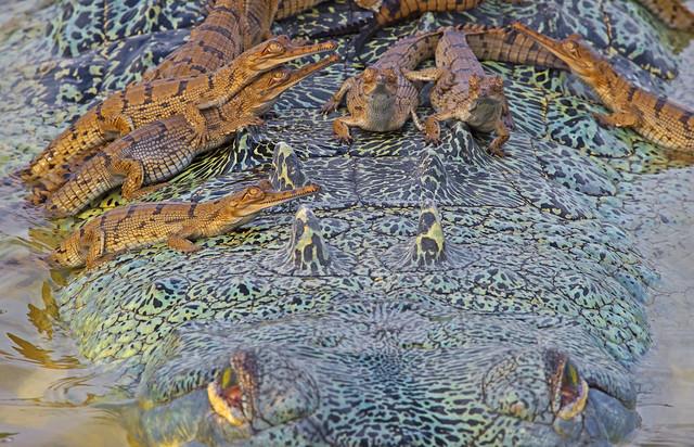 photo of a gharials