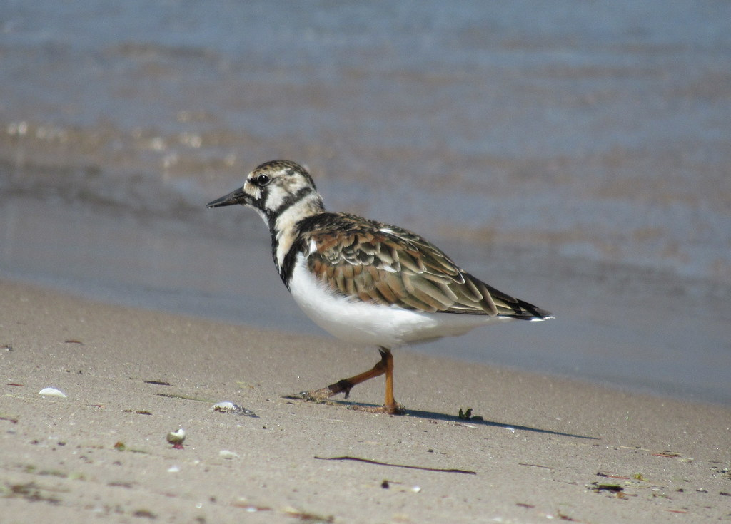 Ruddy Turnstone #1