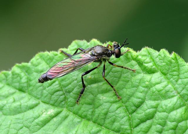 Stripe-legged Robberfly - Dioctria baumhaueri