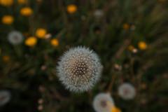 Taraxacum dandelion seed head