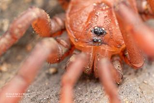 Armored trapdoor spider (Ctenolophus sp.) - DSC_2518