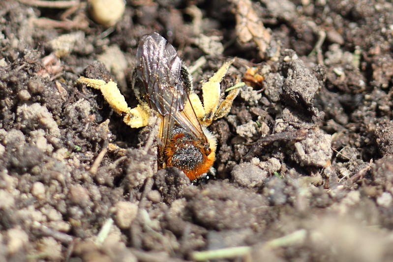 Orange Tailed Mining Bee