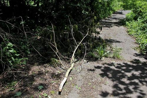 Sambucus nigra et cultivars - sureau noir - Page 3 42372185852_b2e9bc9513