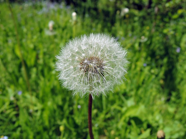 White Dandelion, Nikon COOLPIX P340