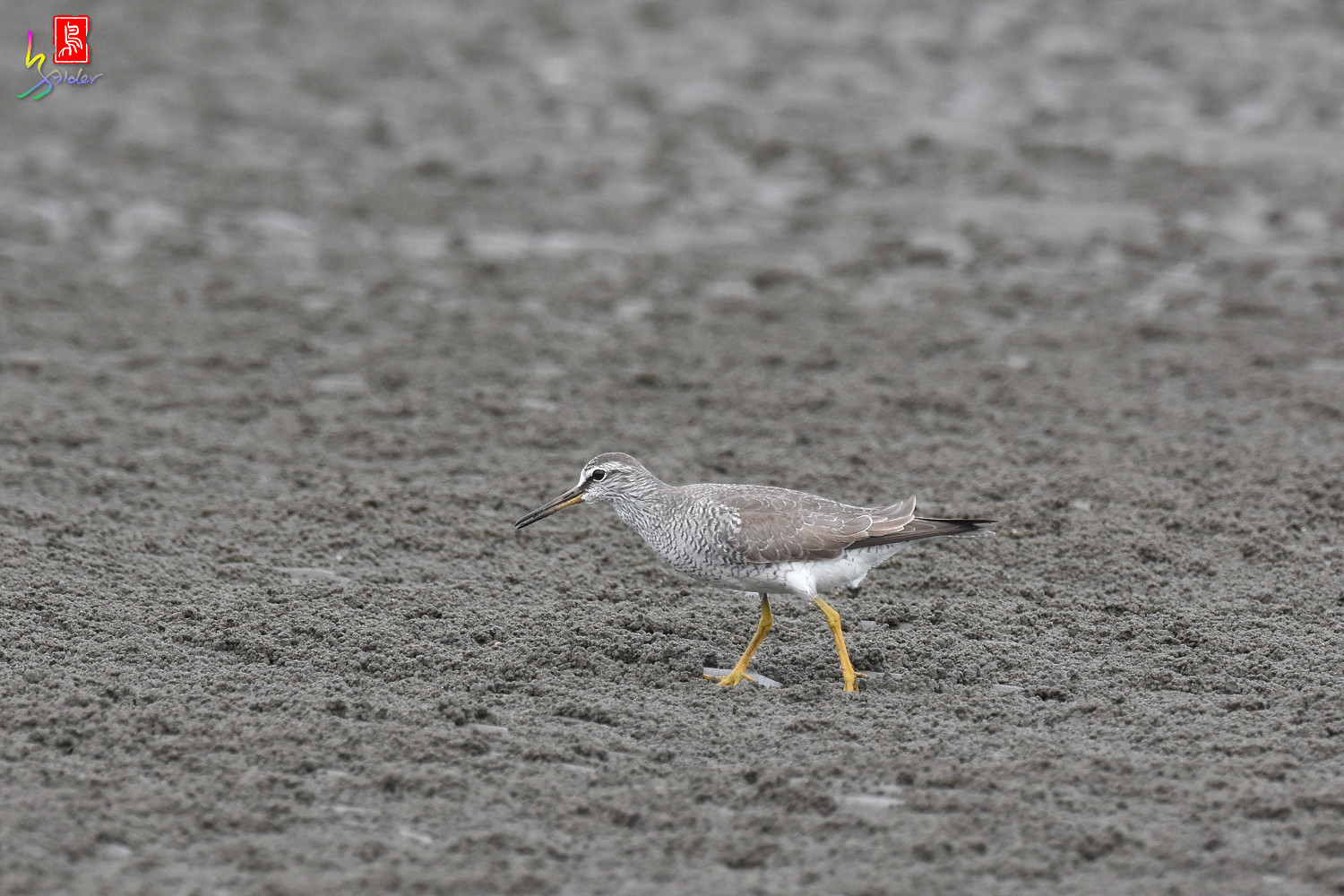 Grey-tailed_Tattler_9400