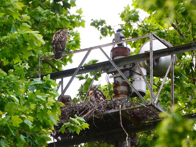 GT Hawk Nest - 0583