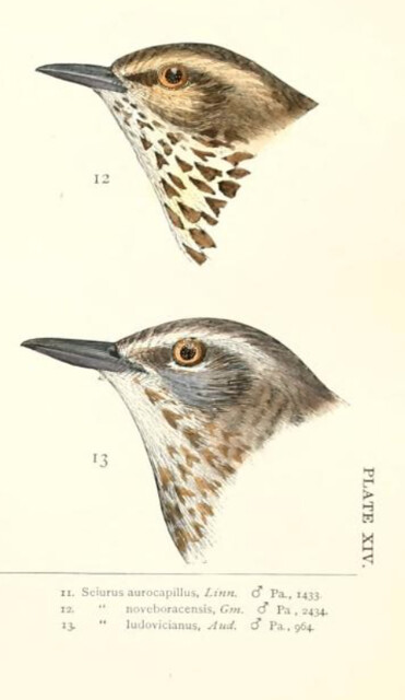 Ridgway 1874 waterthrushes