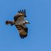 Osprey in flight Montrose basin