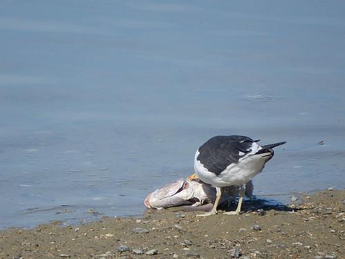 Lucky Gull