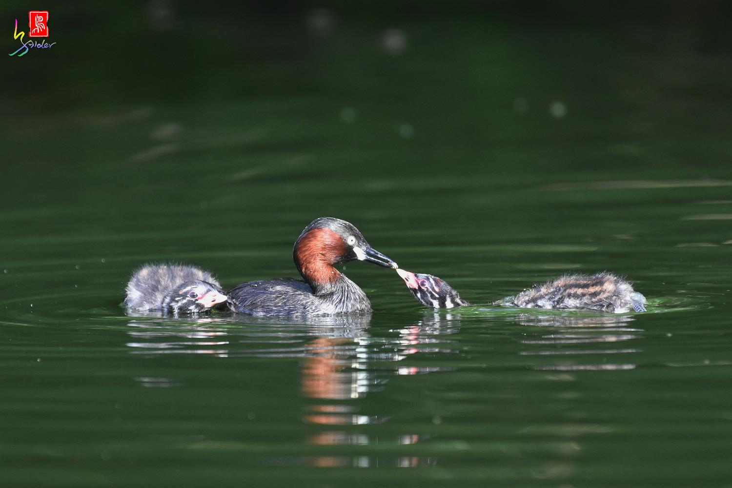 Little_Grebe_4146
