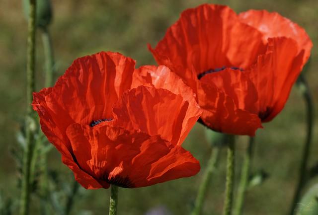 Gartenmohn  / poppy (3)