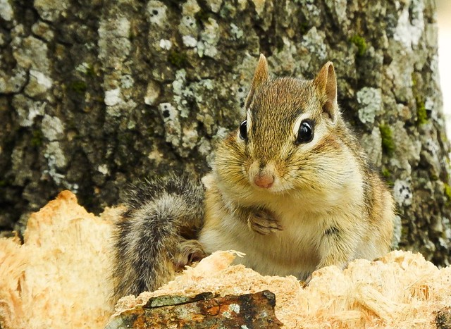 I know there are other animals that are just as cute. But sometimes it's hard to believe anything can out-cute a chipmunk.