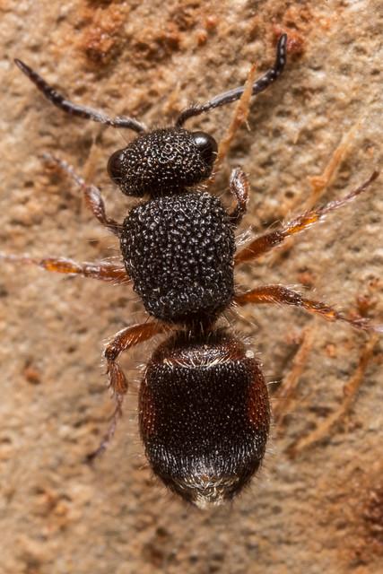 Female velvet ant