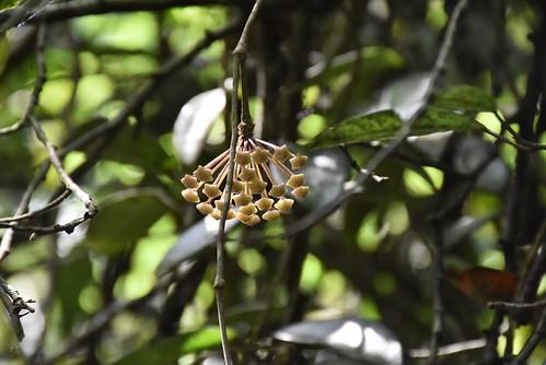 天溪園-毬蘭