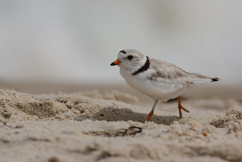 gorgeous brilliant birds nikon nikond7100 tamronsp150600mmf563divc jdawildlife johnny coopersbeachliny portrait closeup eyecontact plovers ploverpiping pipingplover