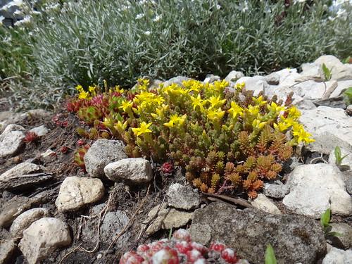 Цветет очиток шестигранный
