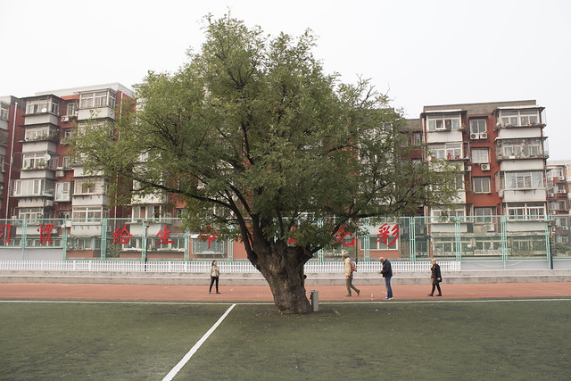 A several hundred years old tree in the middle of a soccer field