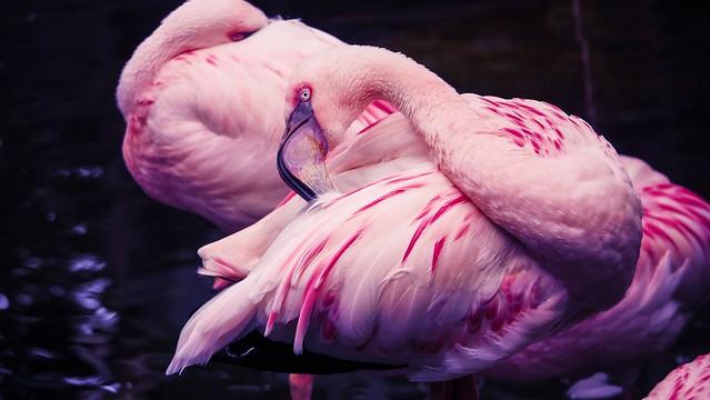 Flamingo - 5363