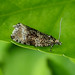 Common Marble - Celypha lacunana