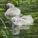 Cygnets - Woods Mill (056)