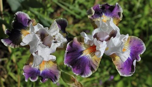"""Iris 'Dazzling"""" - Paul Black 40539096610_e0f6baf5ab"""