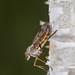 Downlooker snipe fly