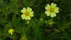 2018-06-08_09-34-03 Sulphur Cinquefoil blooming (Potentilla recta), West End Blvd. at Rt. 4, St. Leonard, Broomes Island Quad, Calvert County, MD, 2018_0608
