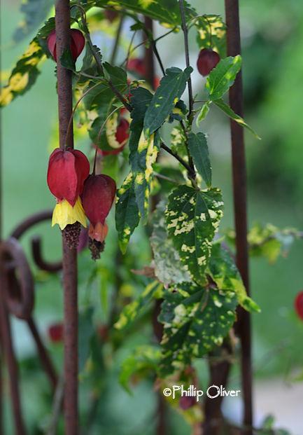 abutilon-megapotamicum-variegatum