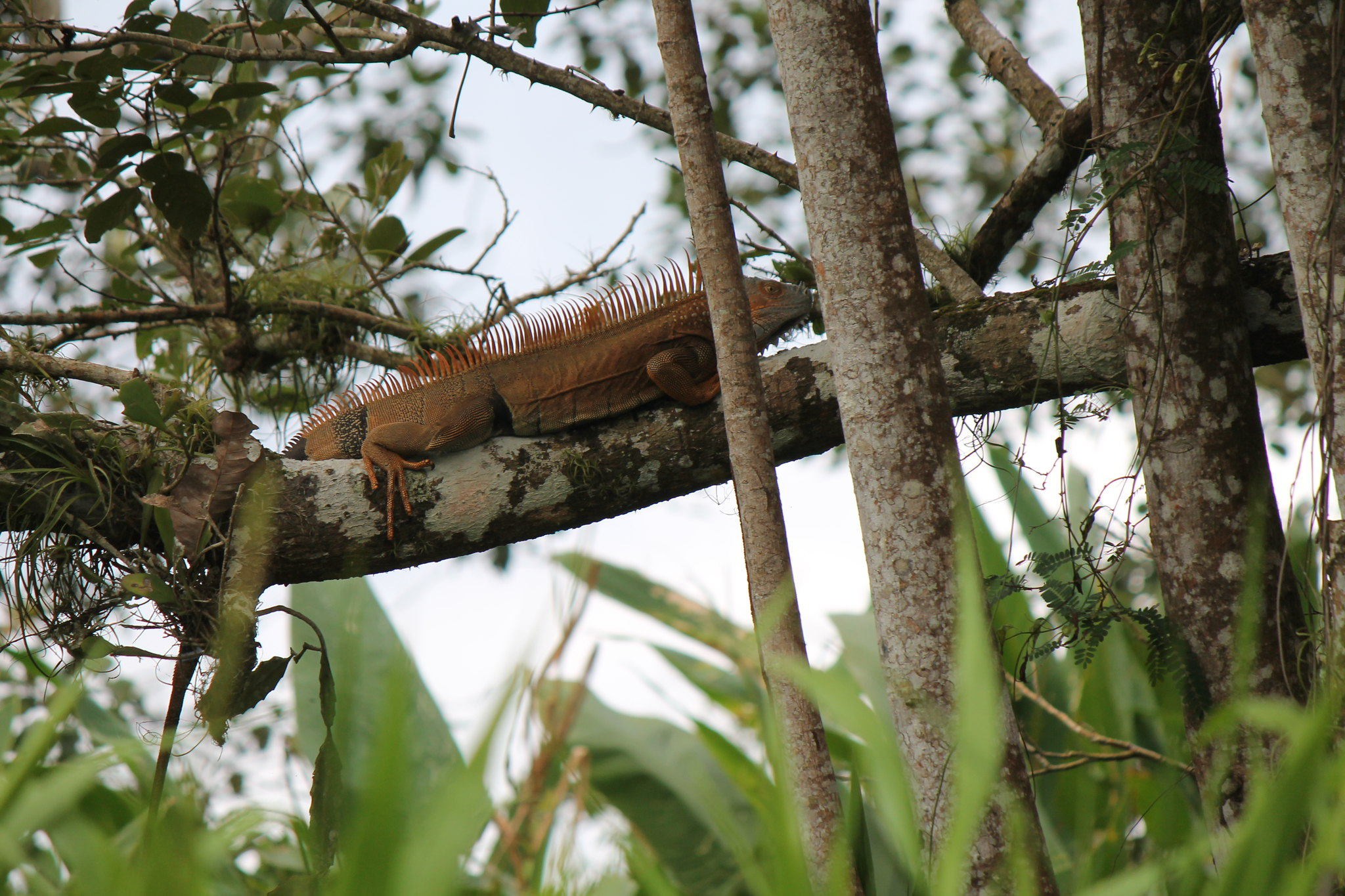 Iguana en Solentiname (1)