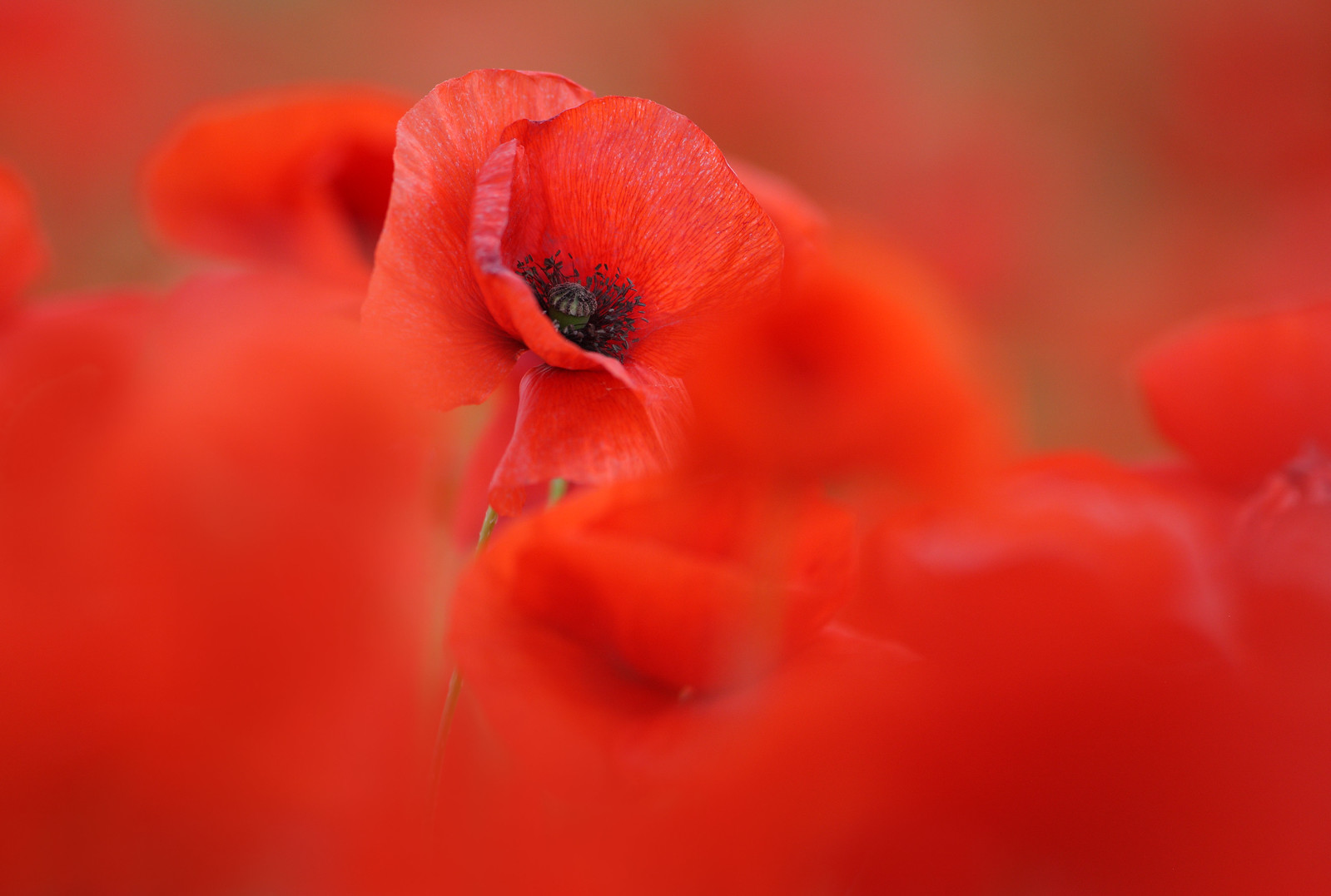 Poppies Close-up