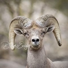 Bighorn nostrils