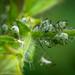 Herb Bennet Aphid - Macrosiphum gei