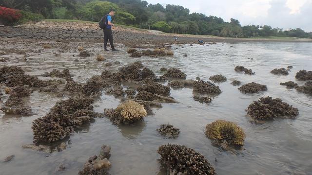 Mass death at Serapong, Jun 2018 - Cauliflower coral (Pocillopora sp.)