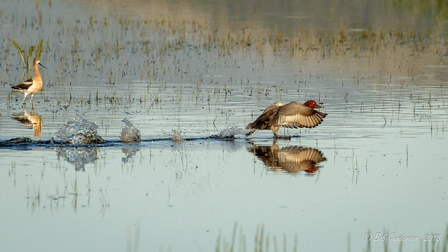 Redhead with American Avocet