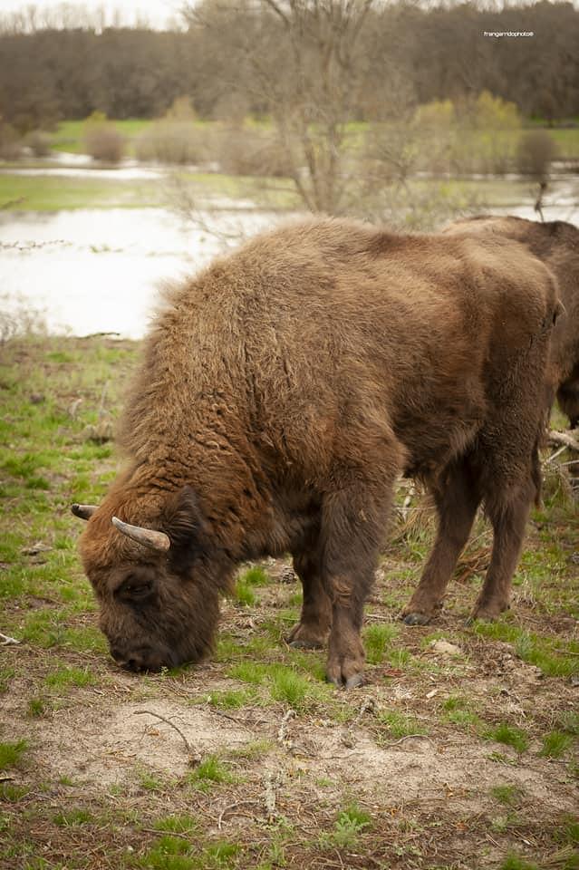 bisontes en los porretales / lastras de cuellar