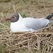 Black Headed Gull Minsmere 23-4-18