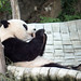 Panda Toddler by jeffrey morris photography