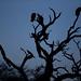 Griffon Vultures (© Jonathan Lewis)