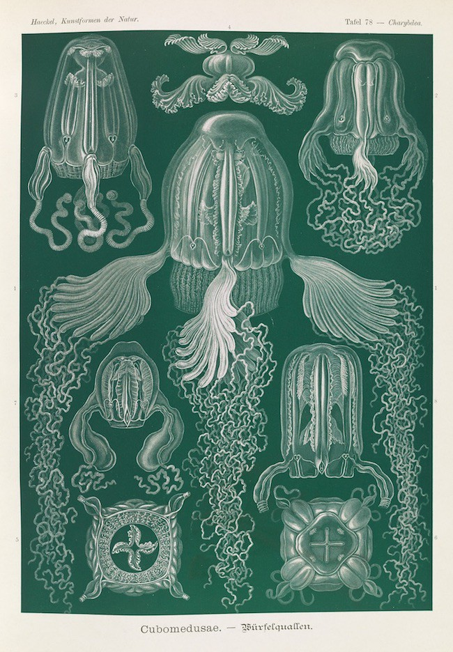 haeckel jellyfish medusae art forms of nature