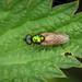 Broad Centurion - Chloromyia formosa