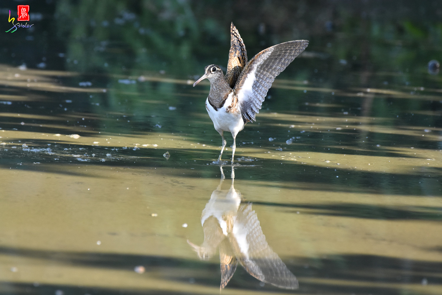Painted_Snipe_7638